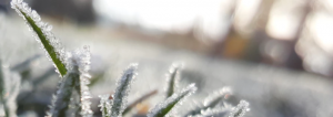 how to protect your plants from frost