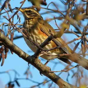 Redwing Bird