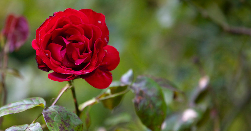 Rose bed Advice