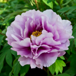 peony flower is one of the best flowers to plant for summer