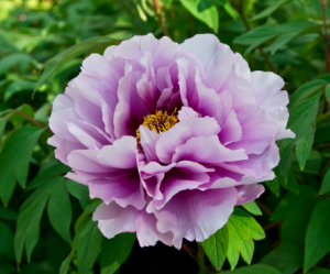 peony flower is one of the best flowers for the summer
