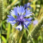 colourful cornflower planted in the summer