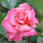 english garden rose in the summer