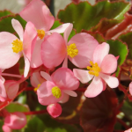 Begonia planted in the summer