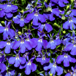 Lobelia blooming in the summer