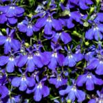 Lobelia blooming in the summer