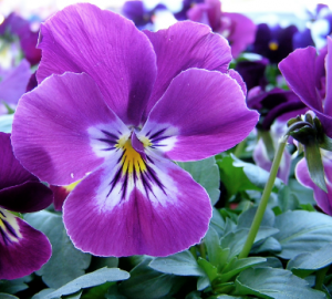 Purple Pansy in the sun